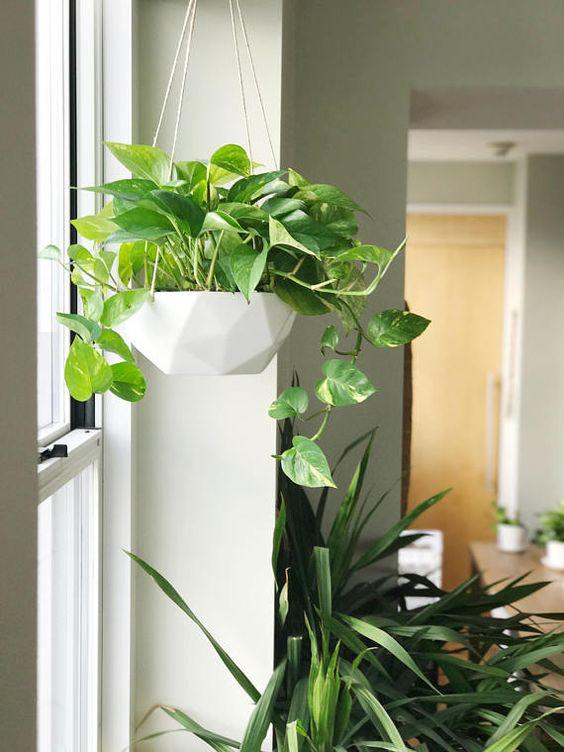 Planta Poto de interior en maceta Colgante cerca de ventana