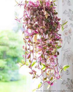 Planta Tradescantia de interior colgante en maceta colgada cerca de ventana